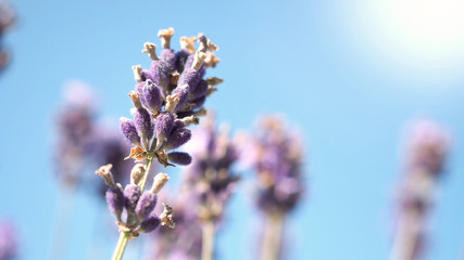 Lavender flower close up and blooming field in summer with blue sky. It give relax herb smell.