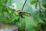 Sri Lankan Green Pit Viper - 231651395
