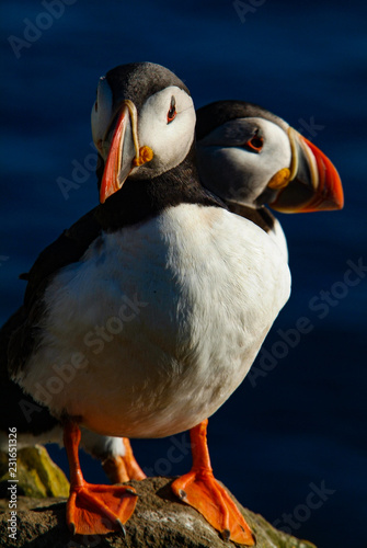 Foto Murales Iceland puffins relaxing on a cliff during the summer season