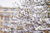 Snow covering branches of magnolia tree with flower buds © Ekaterina Pokrovsky