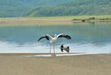 Oriental white stork (Ciconia boyciana) 8