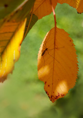 Yellow autumn Cherry leaves and big mosquito isolated on sunny background.