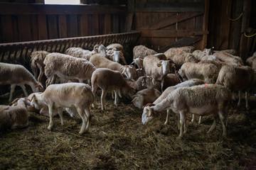 Brebis dans la bergerie, Pyrénées, France © Boris