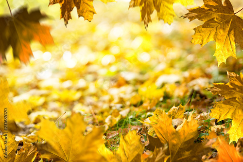 Autumn background. Fallen leaves on the ground in the grass. Autumn frame.