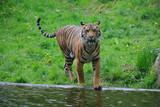 Sumatra-Tiger (Panthera tigris sumatrae)