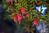 red yew fruit on an autumn green bush - 231691377