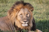 portrait of a lion - 231694914