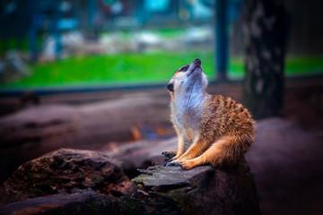 dreaming meerkat