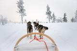 Husky dog sledding in Lapland, Finland - 231706986