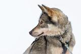 Husky dog close-up, Lapland, Finland - 231707100