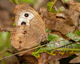 Common Wood Nymph butterfly resting in a sunny spot in the woods