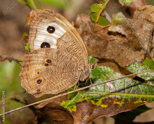 Common Wood Nymph butterfly resting in a sunny spot in the woods - 231712918