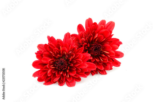 The red dahlias isolated.