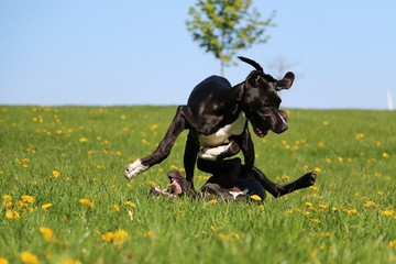 two funny black great danes are playing in the garden