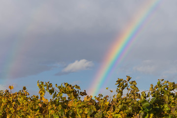 Regenbogen über Kirchturm, im Vordergrund Weinreben Herbst