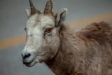 Bighorn female ewe in Banff Alberta - 231718720