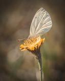 Kohlweißling Schmetterling