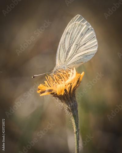 Kohlweißling Schmetterling - 231720572