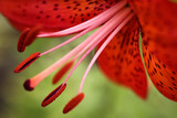 closeup of red flower lily