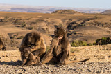 Äthiopien - Blutbrustpaviane im Sämen-Nationalpark - 231729171