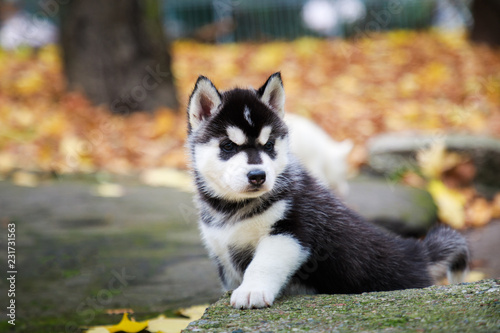 Leinwanddruck Bild Husky puppy in a park in autumn