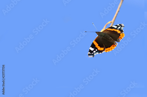 Foto Murales On the branch sits the  the beautiful multi colored a butterfly-Admiral.