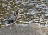 cormoran à aigrettes - 231749181