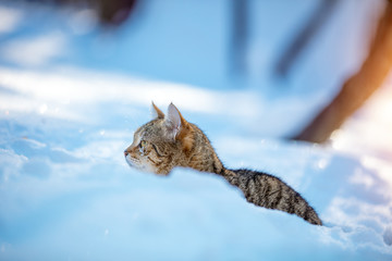 Cute striped cat walking in the deep snow in the winter orchard