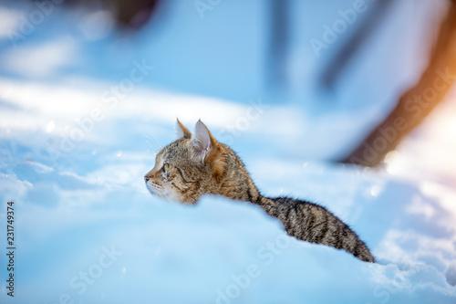 Leinwanddruck Bild Cute striped cat walking in the deep snow in the winter orchard