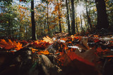 Forest with fallen colored leaves on the ground and seasenal autumn light - 231751514