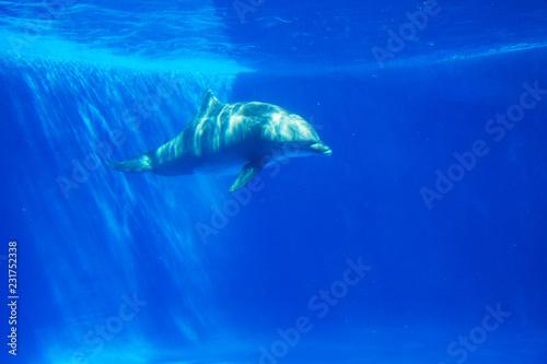 Leinwandbild Motiv Dolphin swims under the water in aquarium. Blue water
