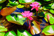 Leinwandbild Motiv Vibrant view of purple water lily with green glossy leaves in sunny swamp of Sochi with water reflections