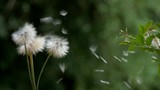 Dandelions dispersing their floating seeds in slow motion in the wind close up. - 231765773