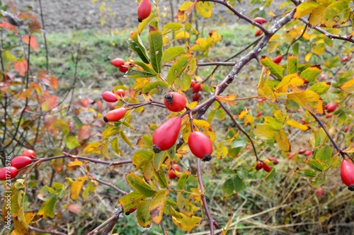 Foto Murales green leaves and orange red fruits (rose hip) on the dogrose