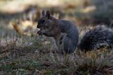 Sciurus carolinensis - Eastern grey squirrel - 231783357