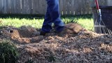 Raking Wood Chips after Tree Stump Grinding - 231798996