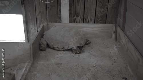 Tortoise hitting wall Black and White