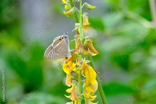 Marco view of Lampides boeticus, the pea blue, long-tailed blue, a small beautiful butterfly with beautiful yellow flower - 231805717