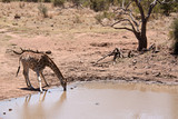 Southern African Giraffe drinking at a remote waterhole amid the dry winter surrounds - 231816502