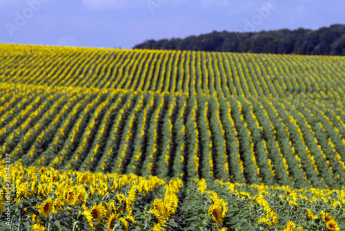Rows of sunflowers on the field. Agriculture landscape. Selective focus.