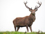 A majestic stag stands alone against a white sky - 231848517