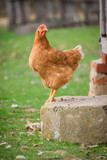 Single chicken on the farm - 231854195