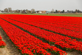 Beautiful field with red flowers - 231856787