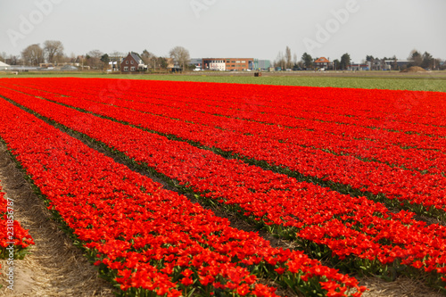 Foto Murales Beautiful field with red flowers