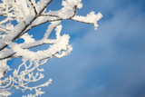 Snowy branch, blue sky background - 231862183