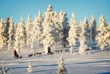 Husky dog sledding in Lapland, Finland - 231862583