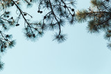 Pine tree branches with cones on blue sky - 231862792