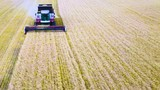 Aerial view of modern combine harvesting wheat on the field. Flying directly above combine. Top view. Agriculture scene - 231870513