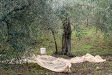 Preparations for olive harvest in rural north Tuscany with nets already in position. Small scale agriculture.