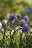 Blooming chives in the garden on a sunny day. Vertical. - 231879926